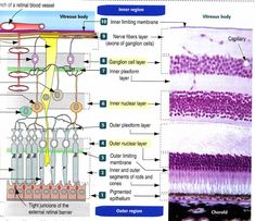 The layers of the retina (http://www.bio.miami.edu/tom/courses/protected/bil265/retina.jpg)