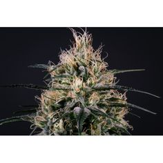 Medical Marijuana, Genetics, Dandelion, Seeds, The Incredibles, Green, Flowers, Plants, Dandelions