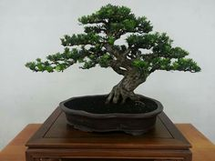 Tree: Podocarpus. Picture of Lissa on Indonesian Bonsai Society (PPBI) at Facebook.