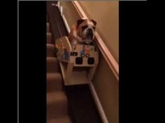 Elderly English Bulldog Rides Down the Stairs In A Custom Stair Lift