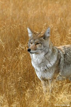 ☀Coyote, Yellowstone National Park