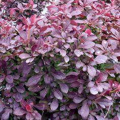 Berberis thunbergii Crimson Pygmy