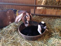 Skittles and her baby, Sno Cap from Briar Gate Farm.