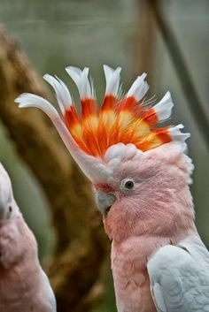 Cockatoo, Australia