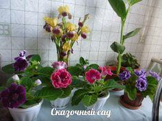 """Выращено из своих семян. """"Сказочный сад (Фиалки, цветы, овощи, экзотика))) - мои группы В КОНТАКТЕ https://vk.com/club58687005 и на ОДНОКЛАССНИКАХ http://ok.ru/group52140865093796"""