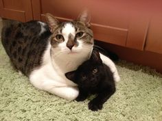 La mamá-gato sobreprotectora | Las 100 fotos más importantes de los gatos de todos los tiempos