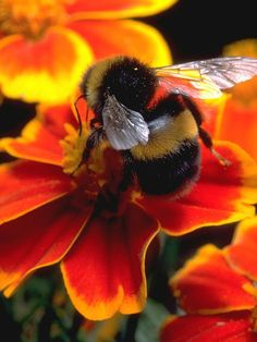 Big Bumble by Bill Caldwell - ABeautifulSky Photography With Nature Beautiful Creatures, Animals Beautiful, Animals And Pets, Cute Animals, I Love Bees, Bee Photo, Bees And Wasps, Bee Friendly, Photo D Art