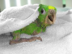 Baby Parrot!