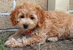 Bonnie the Poodle Mix | Puppies | Daily Puppy
