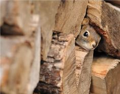Squirrel in firewood