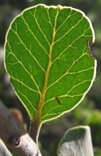 Lithraea caustica - LITRE