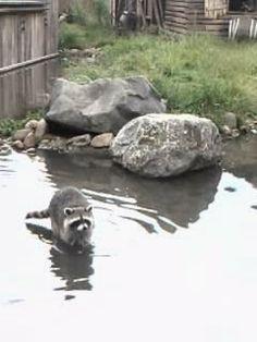 Dierenweetjes: Wasberen