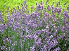 Lavandula angustifolia 'Munstead' - This variety of lavender is pretty hardy and may make it through a zone 4 winter if planted near a south side wall. Let's give it a try.