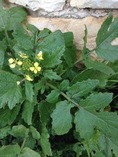 wild mustard plant