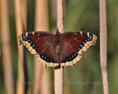 Sun Bathing Butterfly  Blue red/brown yellow Nature by NewLeafPics, $18.00