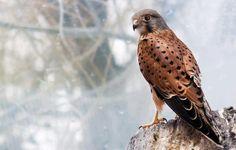 Falcon www.nbcbirdandpestcontrol.co.uk
