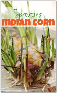 Spouting Indian corn is an easy fall science activity for kids. Learn the trick to sprouting Indian corn kernels successfully. This would make a great preschool science activity! || Gift of Curiosity