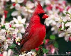 ~The Red Cardinal is The North Carolina State Bird~