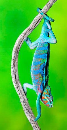Panther Chameleon - © Robert Jensen