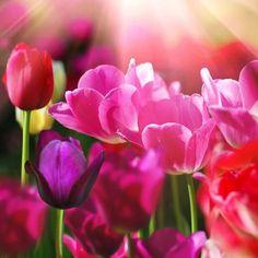 Flower-Power: das Glasbild Rosa Tulpen von Pro Art  bring Frühling an die Wand