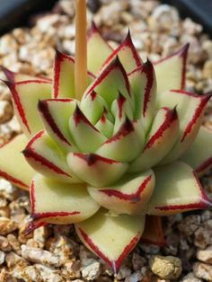 Echeveria agavoides var. multifida is a small, stemless succulent up to 5 inches (12.5 cm) tall... #echeveria #succulentopedia #succulents #CactiAndSucculents #WorldOfSucculents #SucculentLove #succulent #SucculentPlant #SucculentPlants #succulentmania #SucculentLover #SucculentObsession #SucculentCollection #plant #plants #SucculentGarden #garden #desertplants #nature