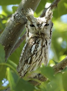 Eastern Screech Owl (Megascops asio) - Picture 14 in Megascops: asio - Location: Sterling, Colorado, USA. Photo by Mack Hitch.