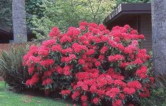 Thank you for taking a look at one of our several hundred Hybrid Rhododendrons we have for sale on Etsy and our website! At RhododendronsDirect.com, all we do is Rhododendrons!    Product Description    Bloom Color:  Red    Bloom Season: Mid-Season    Plant Height(potential in 10 years): Five Feet    Hardy to:  -10    Rhododendron of the Year:  2012 South West    Container Size/Age:  Five Gallon Plant -  These rhododendrons are typically rooting into a five gallon container or have spent two…
