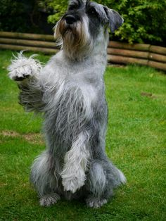 Otto tries dancing! (our Standard Schnauzer)
