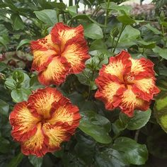 Hibiscus 'Chad' (Hibiscus rosa-sinensis hybrid) smaller 4 inch flowers with orang-red streaks splashed with yellow