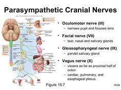 Imagine similară Nursing Information, Facial Nerve, Pharmacy Student, Vagus Nerve, Cranial Nerves, Future Jobs, Medical Field, Medical Science, Anatomy And Physiology