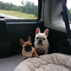 Heading back home after a fun weekend at the lake.  #Dozerdean #daizeemae #marblefalls  #lake #weekend #texasfrenchies #frenchbulldog #frenchies #frenchpuppy #puppy #cutepuppy #texas #love #frenchiegram #frenchbull #frenchiesofinstagram #frenchbulldogsofinsta