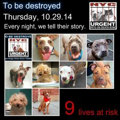 TO BE DESTROYED: 9 Dogs to be euthanized by NYC ACC- THURS. 10/30/14. This is a HIGH KILL shelter group. YOU may be the only hope for these pups! ****PLEASE SHARE EVERYWHERE!!! To rescue a Death Row Dog, Please read this:  http://urgentpetsondeathrow.org/must-read/    To view the full album, please click here:    https://www.facebook.com/media/set/?set=a.611290788883804.1073741851.152876678058553&type=3