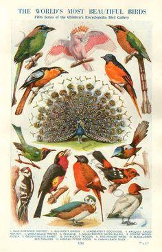 Vintage Antique Birds Prints The World's Most BEAUTIFUL BIRDS Natural History Antique Illustration 28 birds pheasant