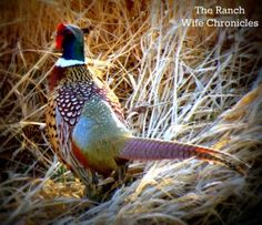 South Dakota Pheasant ~ BEST hunting and fishing in the world can be found in my families' home sate of South Dakota! <3