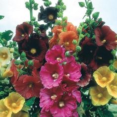 Premium quality and great value Hollyhock Seed, Flower seeds delivered direct to your door by D. Order Hollyhock Seed, Flower seeds online now. Cut Flowers, Beautiful Flowers, Trailing Petunias, Hollyhocks Flowers, Zinnias, Happy Lights, Buy Seeds, Ornamental Plants, Flowering Plants