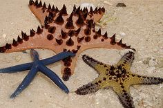 Three starfish that are not long for this world, having washed up on the shore.
