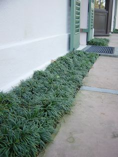 Bigger mondo grass bushes. Could look nice for edging in combination with small mondo grass.
