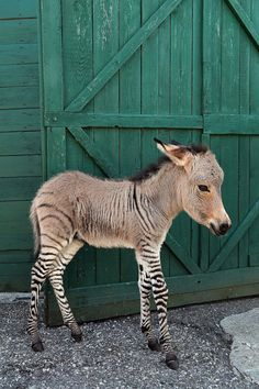 ~~Ippo, a rare baby Zonkey ~ foal of a male zebra and female donkey~~