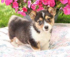 #WelshCorgi #Pembroke #Charming #PinterestPuppies #PuppiesOfPinterest #Puppy #Puppies #Pups #Pup #Funloving #Sweet #PuppyLove #Cute #Cuddly #Adorable #ForTheLoveOfADog #MansBestFriend #Animals #Dog #Pet #Pets #ChildrenFriendly #PuppyandChildren #ChildandPuppy #LancasterPuppies www.LancasterPuppies.com Pembroke Welsh Corgi Puppies, Lancaster Puppies, Animals Dog, Puppies For Sale, Mans Best Friend, Snuggles, Puppy Love, Pets, Sweet
