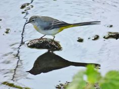 Grey Wagtail / Northumberland