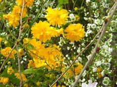 The Garden in Spring- Kerria Japonica and Bridal Wreath Spirea