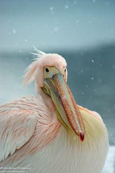 Snow Pelican