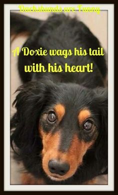 A Doxie wags his tail with his heart!