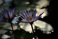 water lily at Kew