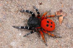 Velvet spider by nikolarahme, via Flickr... Kind of pretty but still too many legs!