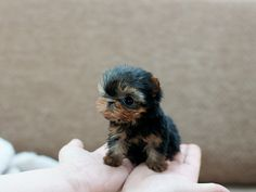 Teacup Yorkie Puppy, omg this is sooo cute!!! :):):)