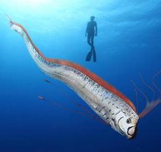Anonymous said: Can I have a cursed giant creature fact? at lengths of over 55 feet and weights of 600 pounds, our friend the Oarfish surely qualifies :) we don't know a whole lot about. Oarfish, River Monsters, Deep Sea Creatures, Unusual Animals, Interesting Animals, Underwater Life, Deep Sea Fishing, Underwater Photography, Cat Photography