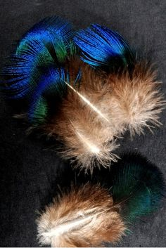 Paon bleu - 3-5 cm - bleu naturel - Plumes.fr