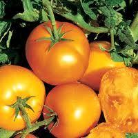 Golden Jubilee    |  Color: Orange    |  Shape/Size: Round, medium    |  DTM: 80    |  Description: Heavy yields. Old favorite variety.