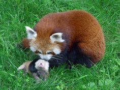 Dortmund-Zoo-Kleiner Panda151930 - Red panda - Wikipedia, the free encyclopedia